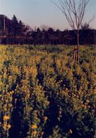 菜の花 20021001180| 写真素材・ストックフォト・画像・イラスト素材|アマナイメージズ