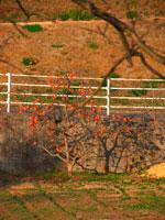 柿の木 20021001206| 写真素材・ストックフォト・画像・イラスト素材|アマナイメージズ