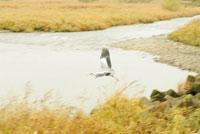 水面を飛ぶ鷺