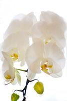 蘭の花 20021002345| 写真素材・ストックフォト・画像・イラスト素材|アマナイメージズ