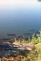 川を泳ぐ鯉