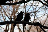 木にとまる2羽のカラス