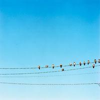 電線に並んでとまるハト