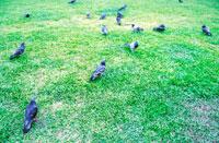 芝生の上を歩く鳩の群れ