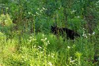 草むらの中の黒猫