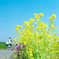 菜の花と道