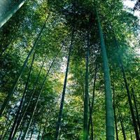 竹林 20021005688| 写真素材・ストックフォト・画像・イラスト素材|アマナイメージズ
