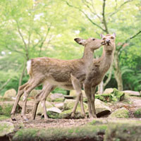 キスをする二頭のシカ 20021005692| 写真素材・ストックフォト・画像・イラスト素材|アマナイメージズ