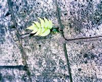 石畳の間から出る葉 20021005713| 写真素材・ストックフォト・画像・イラスト素材|アマナイメージズ
