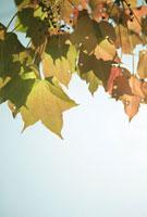 紅葉 20021005749  写真素材・ストックフォト・画像・イラスト素材 アマナイメージズ