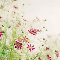 夕暮れの空に向かって咲くコスモス 20021005792| 写真素材・ストックフォト・画像・イラスト素材|アマナイメージズ