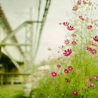 高架下に咲き並ぶコスモス 20021005793| 写真素材・ストックフォト・画像・イラスト素材|アマナイメージズ