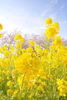 菜の花と桜 20021005803| 写真素材・ストックフォト・画像・イラスト素材|アマナイメージズ