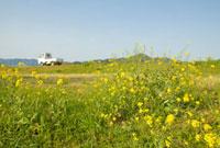 菜の花とトラックと青空 20021005804| 写真素材・ストックフォト・画像・イラスト素材|アマナイメージズ