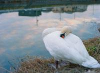 川岸で眠る白鳥と水面に映る町並み 20021005816| 写真素材・ストックフォト・画像・イラスト素材|アマナイメージズ