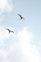 青空を飛ぶ2羽のカモメ