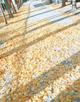イチョウ並木の道 20021005851| 写真素材・ストックフォト・画像・イラスト素材|アマナイメージズ