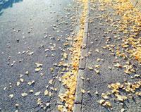地面に散らばったイチョウの葉 20021005853| 写真素材・ストックフォト・画像・イラスト素材|アマナイメージズ