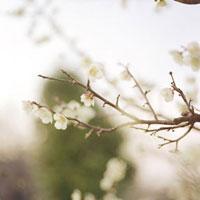 梅の花の咲く夕暮れ 20021005876| 写真素材・ストックフォト・画像・イラスト素材|アマナイメージズ