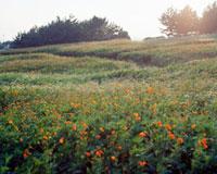 夕日とオレンジの花