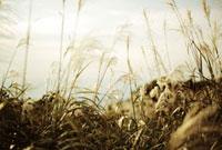 夕日を受けて輝くすすき 20021006036| 写真素材・ストックフォト・画像・イラスト素材|アマナイメージズ