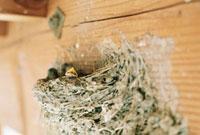 納屋に作られた巣と燕の子