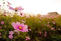 夕暮れのコスモス畑 20021006061| 写真素材・ストックフォト・画像・イラスト素材|アマナイメージズ