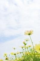 黄色いコスモス 20021006273  写真素材・ストックフォト・画像・イラスト素材 アマナイメージズ