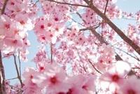 桜の花 20021006353| 写真素材・ストックフォト・画像・イラスト素材|アマナイメージズ