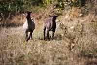 草原を走る羊