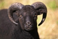 つののはえた黒い羊