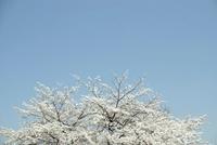 晴天に白く輝く桜