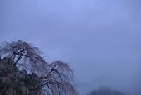 霞の中のしだれ桜 20021006410| 写真素材・ストックフォト・画像・イラスト素材|アマナイメージズ