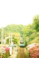 ツツジの間を走る電車