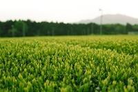 夕暮れ時の五月の茶畑 20021006454| 写真素材・ストックフォト・画像・イラスト素材|アマナイメージズ