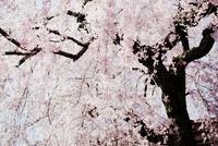 街角で輝くしだれ桜