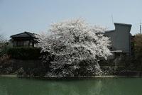 犀川のほとりに咲く桜