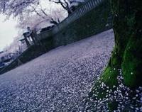 神社の境内に散った桜の花びらと桜の木 20021006492| 写真素材・ストックフォト・画像・イラスト素材|アマナイメージズ