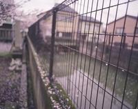 柵に貼りついた桜の花びら 20021006494| 写真素材・ストックフォト・画像・イラスト素材|アマナイメージズ