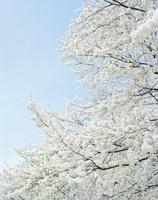 晴天に輝く桜の花