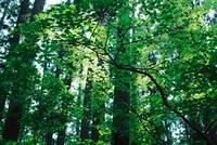 日光に透けて輝く樹木の葉