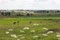 農場で放牧される牛