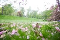 セントラルパークに咲いた桜と芝生