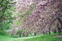 セントラルパークに咲いた桜の下に座る女性 20021006568| 写真素材・ストックフォト・画像・イラスト素材|アマナイメージズ