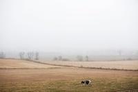 霧の牧草地を歩く牛