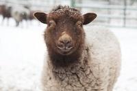 雪の中のアイスランド生まれの羊