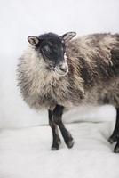 アイスランド生まれの羊