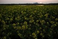 沈む夕日と菜の花畑 20021006672| 写真素材・ストックフォト・画像・イラスト素材|アマナイメージズ