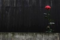 ブロック塀と一輪のバラ 20021006673| 写真素材・ストックフォト・画像・イラスト素材|アマナイメージズ