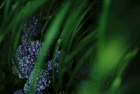 暗い影に咲く紫陽花